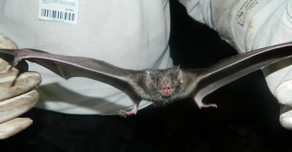 Parente do vírus SARS-CoV-2 é detectado em morcegos no Camboja