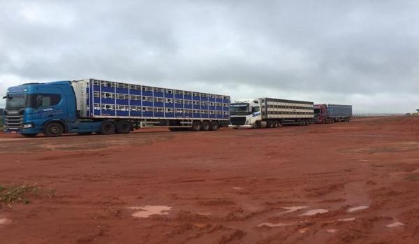 Granja em Rio Verde recebe primeiras 600 matrizes de suínos e consolida projeto de expansão do setor em MS