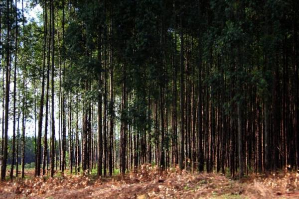 Com grande reserva de madeira, MS tem potencial de exportação para gigantes da celulose