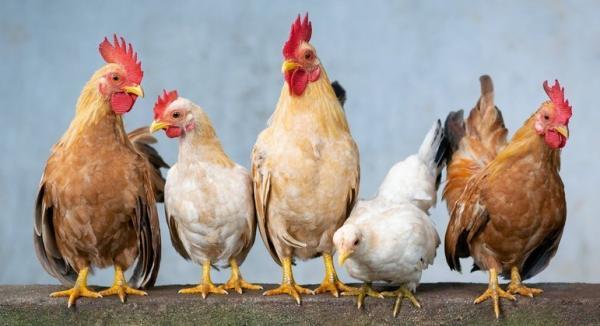 Preço do frango sobe quatro vezes mais que a inflação em 2021