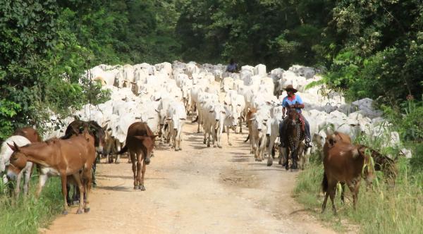Boas estradas e pontes seguras facilitam a retirada do gado do Pantanal na cheia